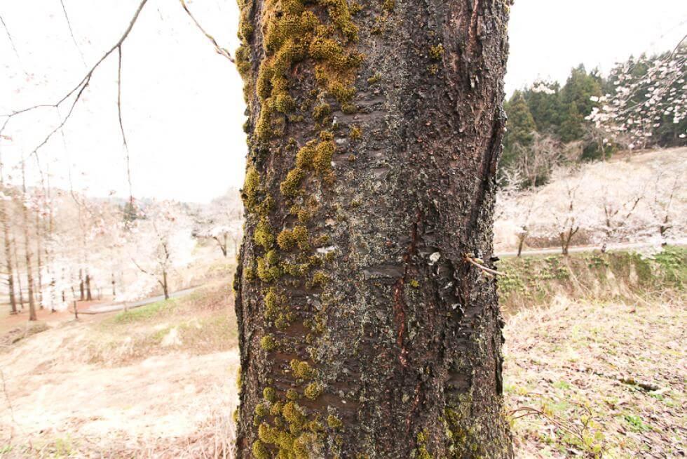 טחב על עץ בגן המנזר